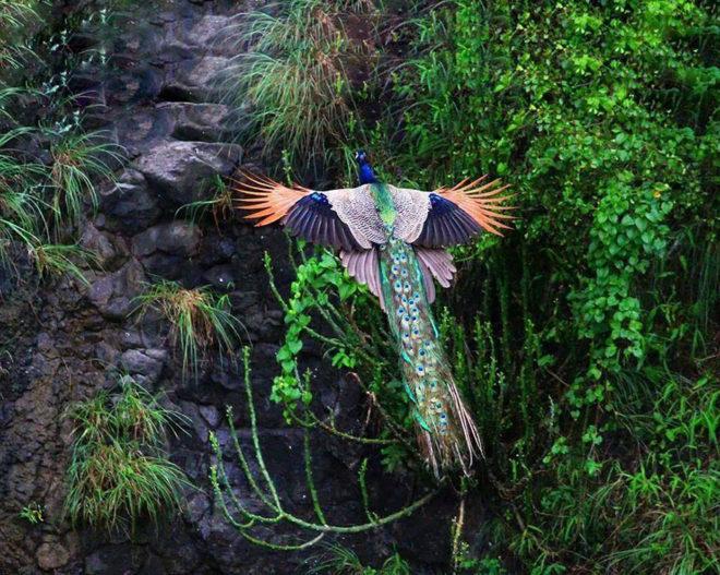 Павлин летит на дерево