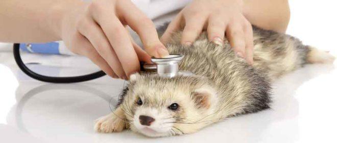 Хорек на осмотре у врача