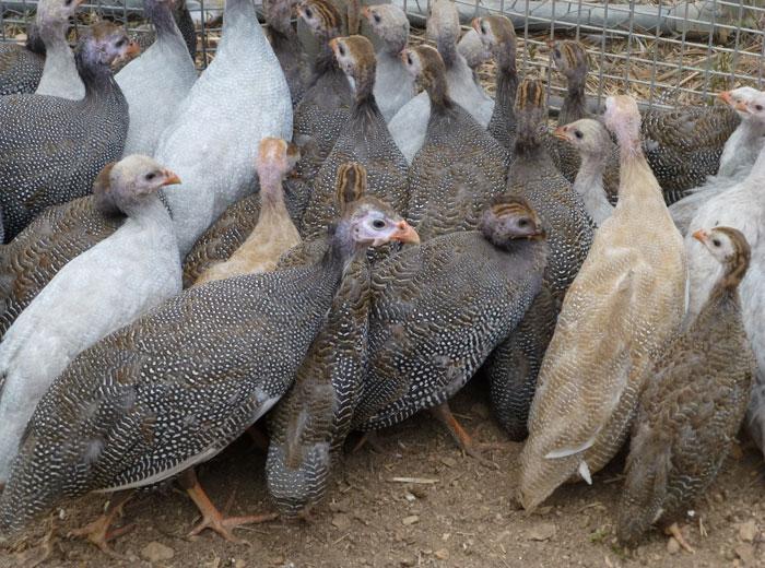 Домашние цесарки в птичнике