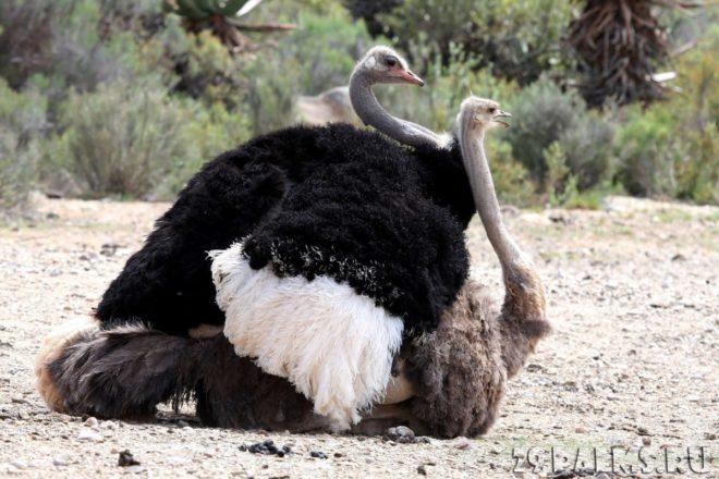 Спаривание страусов