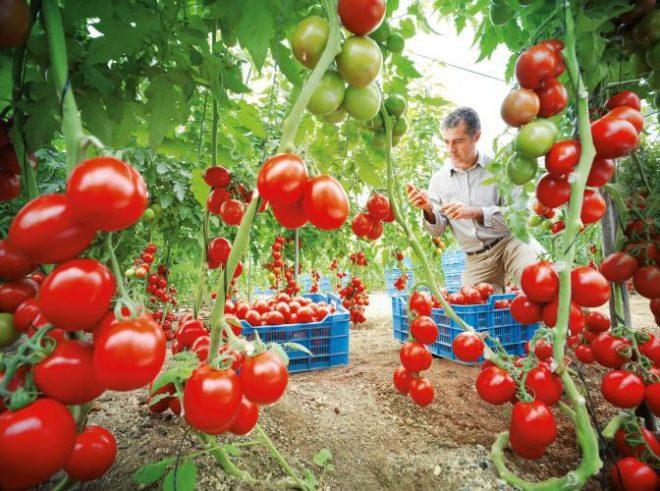 """Окучивание томатов """"Демидов"""" необходимо"""
