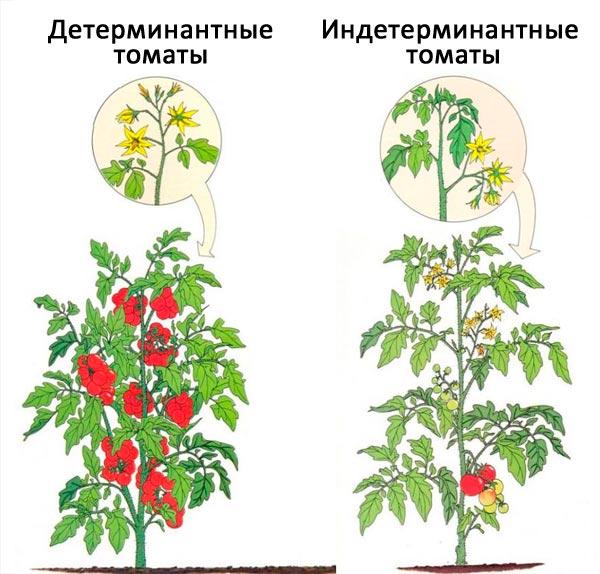 Что такое детерминантные томаты
