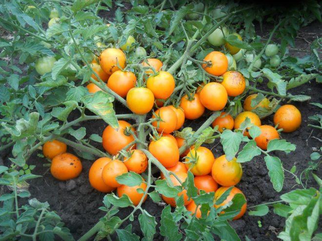 Детерминантные помидоры менее урожайны