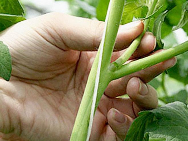 Детерминантные томаты нуждаются в пасынковании