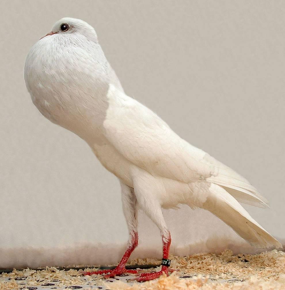 """Порода голубей """"Дутыш"""" популярна"""
