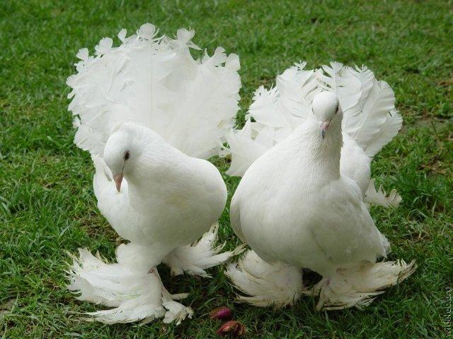 Голуби-павлины красивы и послушны