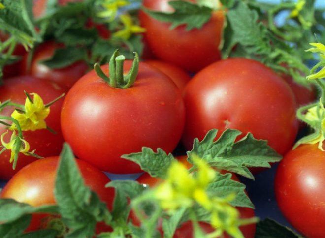"""Фитофтороз не поражает томаты """"Фитоус"""""""