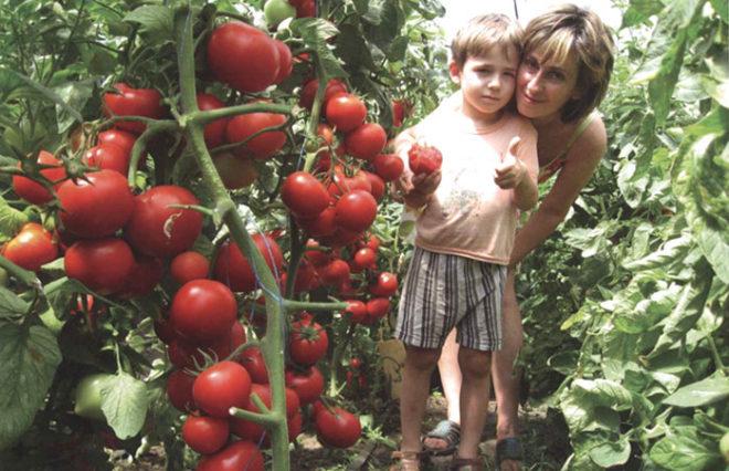 Выбирайте раннеспелые, урожайные томаты