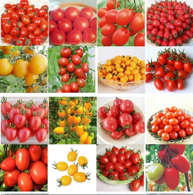 Сорта помидоров для Подмосковья нужно выбирать правильно