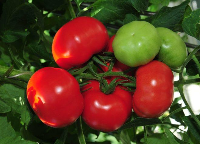 """Урожайность томатов """"Благовест"""" высока"""