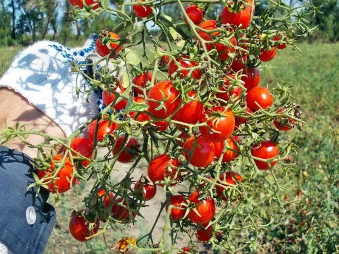 """""""Сладкая гроздь"""" - раннеспелые томаты"""