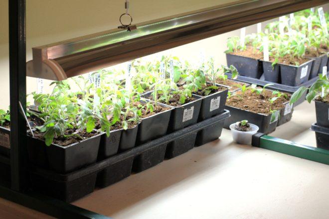 """Технология выращивания рассады """"Медовая капля"""" сложна"""