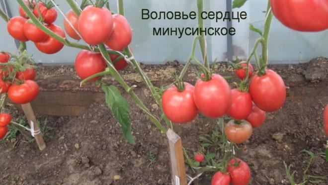 Минусинские томаты большие по размеру