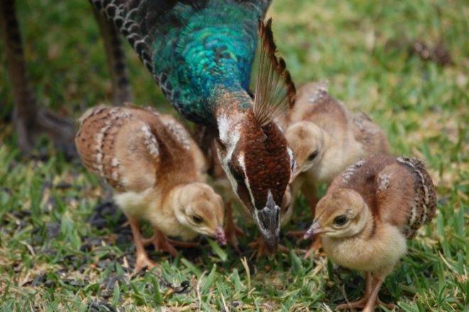 Павлины заботятся о своих птенцах