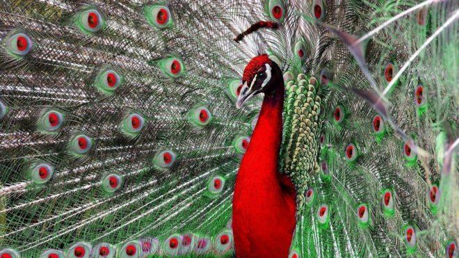 Родина красного павлина - Северная Африка.