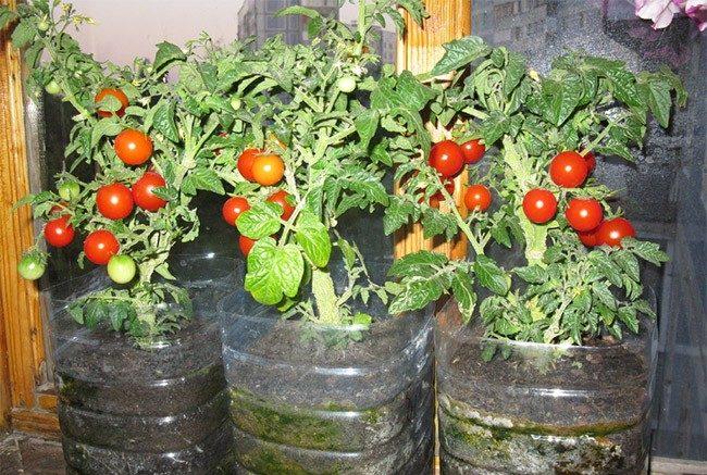 Выращивать томаты необходимо в специальном субстрате