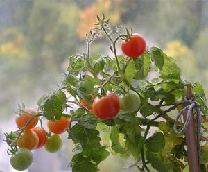 Как выращивать помидоры черри на подоконнике зимой