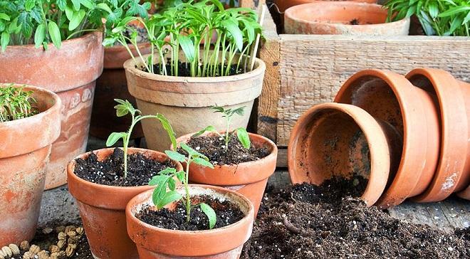 Рассаду томатов Черри пересаживают в отдельные горшочки