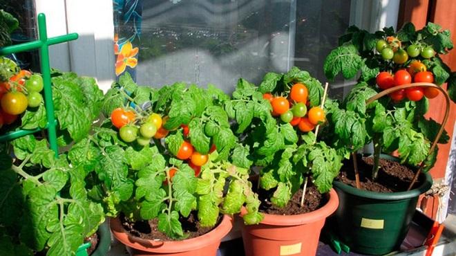 Опыление, полив и тепло - составляющие богатого урожая помидоров Черри