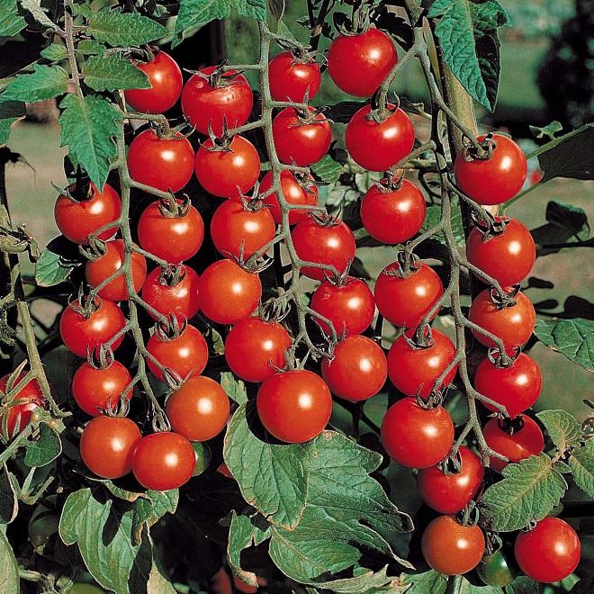 Богатый урожай помидоров порадует любого огородника