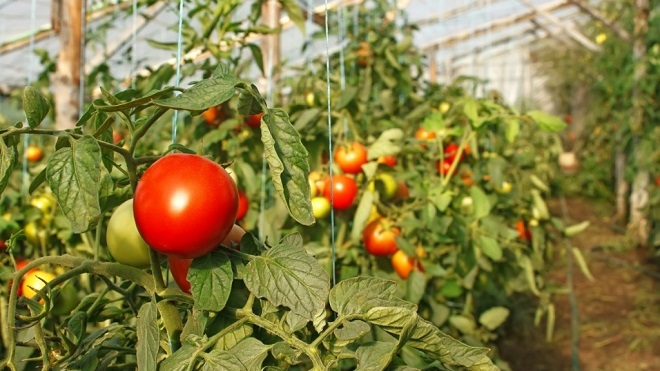 Выращивать помидоры Дубок очень легко
