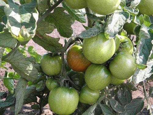 Саженцы томатов Дубок требуют закаливания