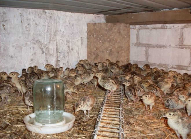Начинать бизнес рекомендуется с небольшого количества птиц