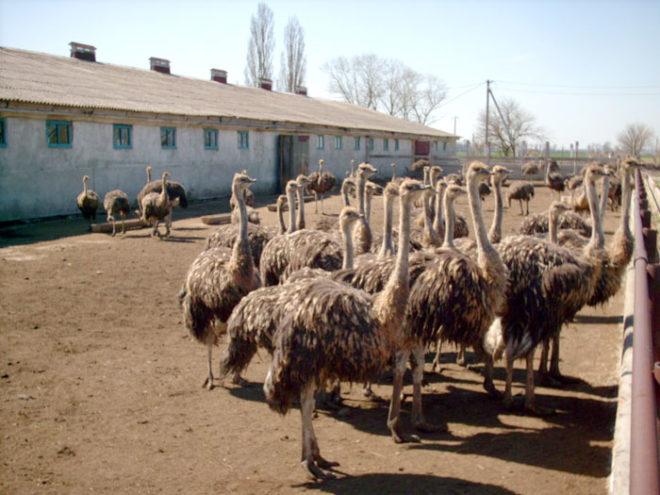 Птенцы страусов требуют внимания