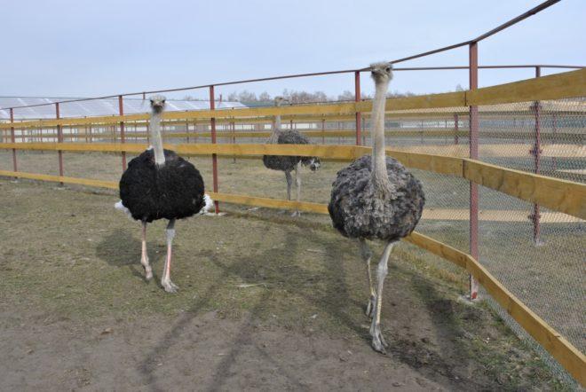 Существует несколько способов разведения страусов