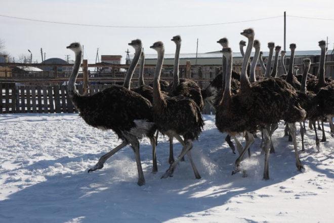 Африканские страусы предпочтительнее для разведения