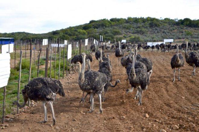 Площадки для выгула страусов обязательны