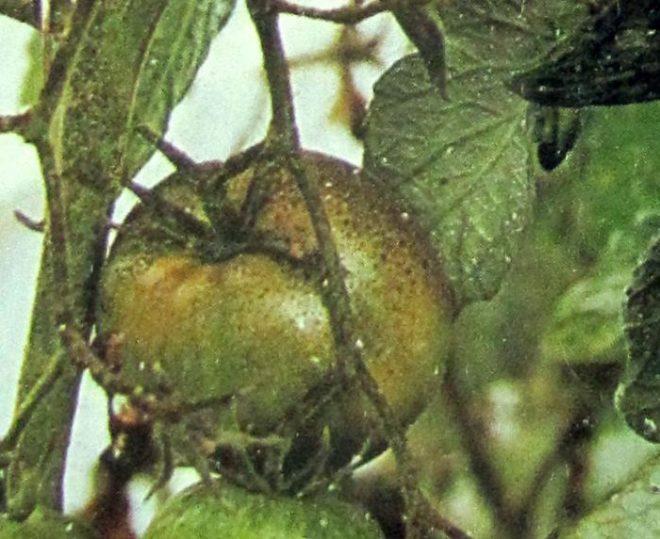 Паутинный клещ уничтожается инсектицидами