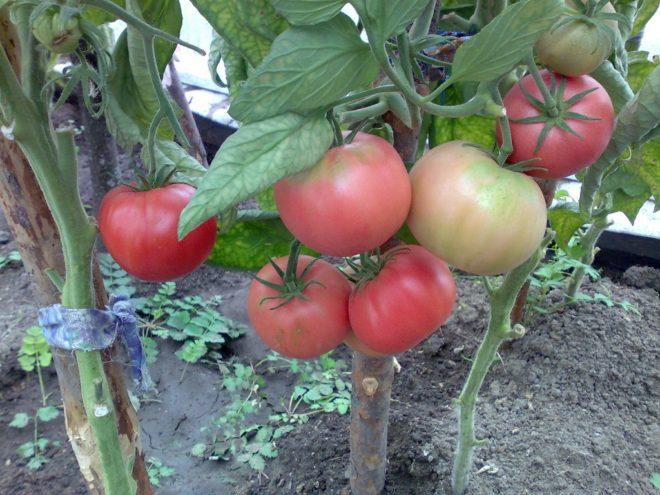 """Вес плодов томатов """"Розовый слон"""" очень большой"""