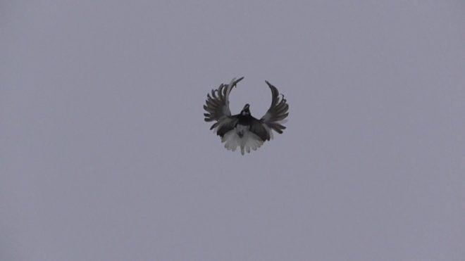 Серпастые голуби красивы в полете