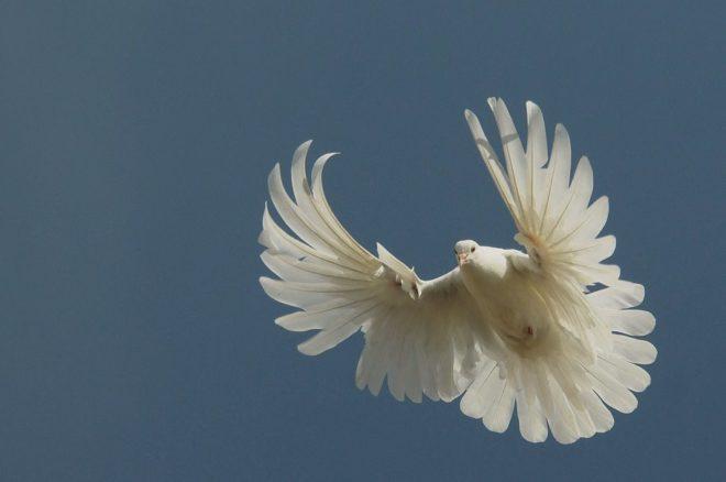 Серпастые голуби сложны в разведении