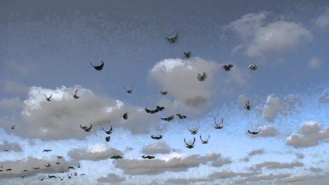 Впервые серпастые голуби появились в Николаеве