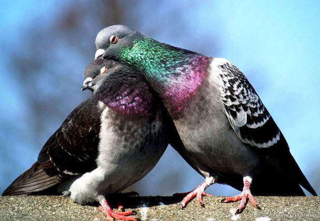 Сизый голубь - базовый вид этой птицы