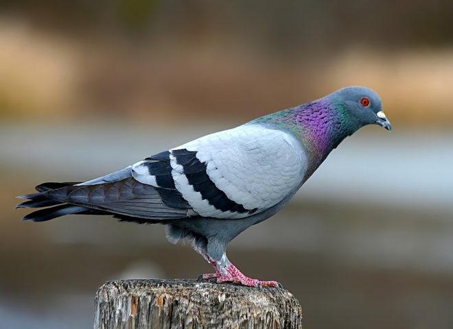 Сизый голубь обитает в южных странах
