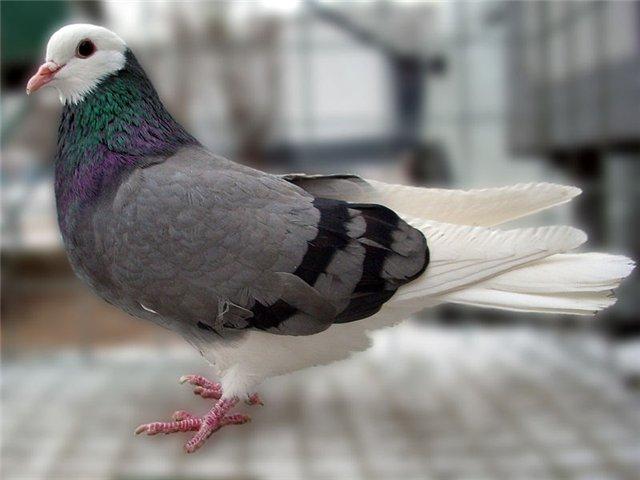 Узнать сизого голубя легко