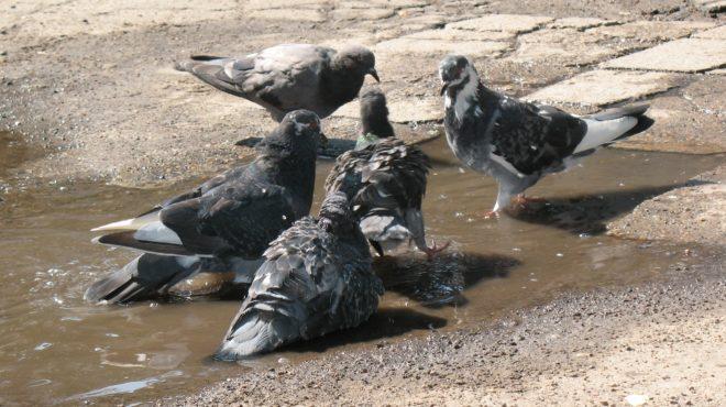 Городские и дикие сизые голуби отличаются
