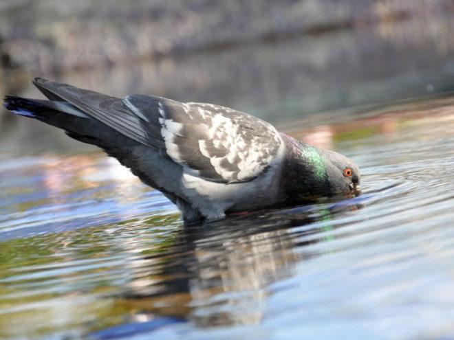 Манера пить воду у сизого голубя интересна