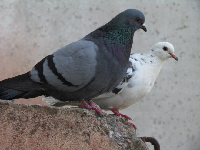 Продолжительность жизни голубей переменна