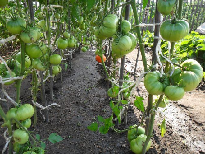 Необходимо правильно подобрать сорт томатов для Сибири