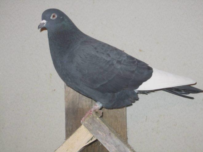 Голуби типплеры прирожденные летуны