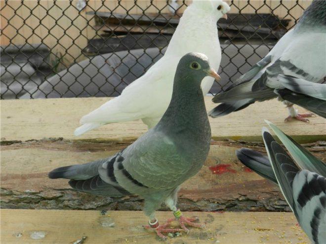 Типплеры - небольшие птицы с плотным оперением