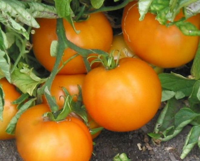 Томаты Апельсин отличаются приятным вкусом и необычным видом