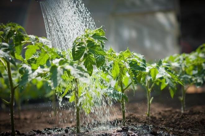 Подкормка увеличивает урожайность кустов