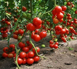 Выращивание помидоров в открытом грунте возможно