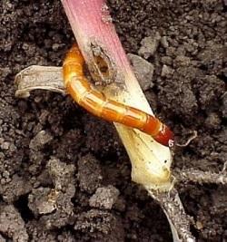 Борьба с вредителями во время выращивания томатов обязательна