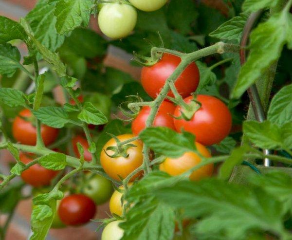 Пасынкование и подвязка помидоров Бетта не нужны